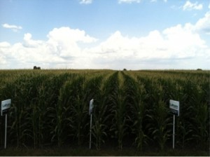 Latham Hi-Tech Seeds corn plot near Grand Junction, Iowa