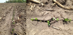 It's been a perfect warm sunny Tuesday here in Central Iowa. To top it off, these photos came in today of a field of L2585R2 soybeans planted in Boone county that have emerged and are looking great! How are crops progressing on your farm?