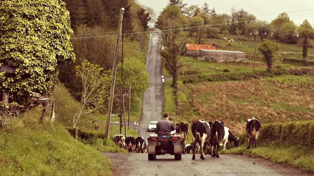 Farmer herding cattle in Ireland