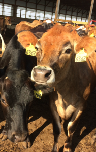 Replacement dairy heifers that Dr. Lang raises at her house