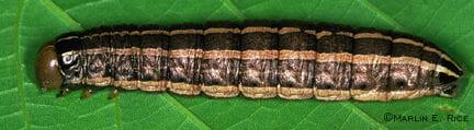 ISU Bronzed Cutworm Entomology Dept