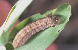 Purdue Dingy Cutworm