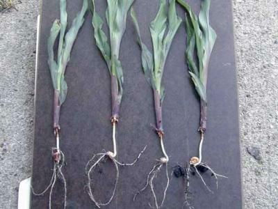 Rootless Corn Syndrome Photo Credit ISU