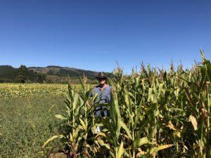 In corn field in Chile 2019