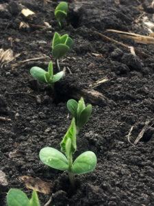 Soybeans LauraC