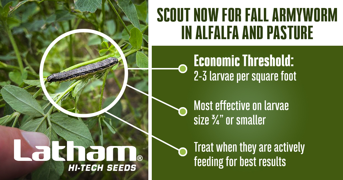 Scout now for fall armyworm